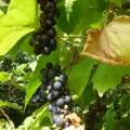 Sandays vine