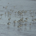 Avocets around the Exe