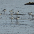 Avocets on the Exe