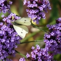 Oct butterfly