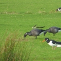 Oyster catcher & Brent Geese