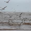 Gulls having a feast