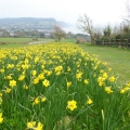 Daffodils at Sidmouth