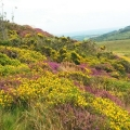 Colours of the moor: Dartmoor ablaze with heather and gorse.