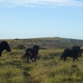 Dartmoors Ponies galloping free