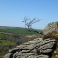Tree on the moor, Dartmoor