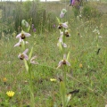 Dawlish Warren Orchids