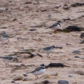 Plovers