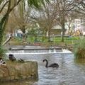 Dawlish Water black swans