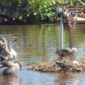 Chinese Geese on the move