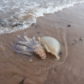 Jellyfish on the strandline