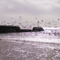 Gulls in motion