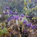 November Purple Beautyberry