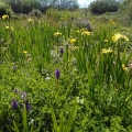 Southern Marsh Orchids and Yellow flag Iris
