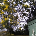 Mimosa overhanging our shed