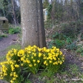 Mini daffodils at Warren Copse