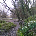 Snowdrops by the Dart