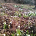 Snowdrops by the thousand