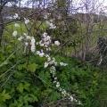 Hedgrow