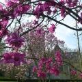 Camellia glory