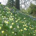 Daffodils & crocuses