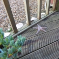 Starfish on the decking