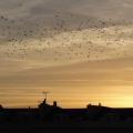sky full of starlings