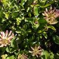 Honeysuckle hedges