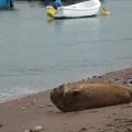 Seal at Teignmouth
